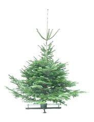 Kerstbomen Abies nordmanniana gezaagd