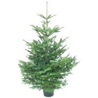 Nordmann-kerstbomen-met-kluit
