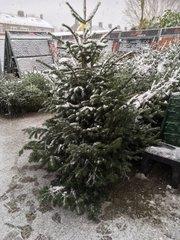 Kerstbomen-Nordmann-gezaagd