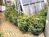 Kerstboom Omorika in pot 80-130cm _27