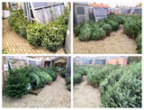 Kerstboom Abies nordmanniana gezaagd 200-225cm _27