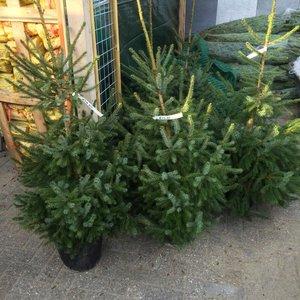 Kerstboom Omorika in pot 80-130cm